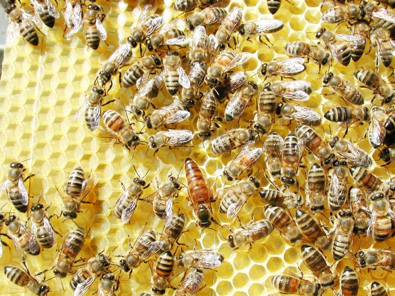 Cadre d'abeilles (Photo Apiland).2